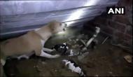 अपने बच्चों को बचाने के लिए खतरनाक कोबरा से भिड़ गई मां. लेकिन कुत्ते की कोशिश हो गई नाकाम