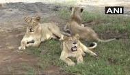 गुजरात : गिर फॉरेस्ट में 11 शेरों की मौत, राज्य सरकार ने दिए जांच के आदेश