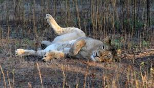 ये खतरनाक वायरस ले चुका है गिर के 23 शेरों की जान, बचाने के लिए अपनाये जायेंगे ये उपाय