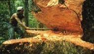 100 साल पुराने पेड़ के लिए लगी 10.58 लाख रुपये की बोली, इस खास काम के लिए उपयोग की जाती है इसकी लकड़ी