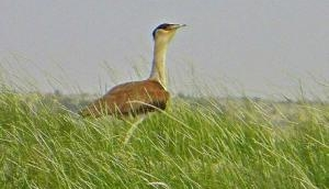 Great Indian Bustard on the Dodo way?