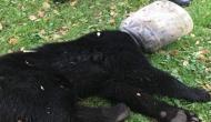 Video: प्लास्टिक के जार में फंस गया भालू के बच्चे का सिर, उसके बाद हुई ऐसी हालत