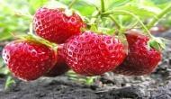 कैंसर से बचाव और वजन कम करने के लिए सबसे असरदार है स्ट्राबेरी
