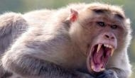 बंदरों ने की इस शख्स की हत्या, पत्थर से पीट-पीट कर मार डाला और..