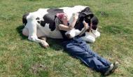 इस देश में गाय को गले लगाने के लिए हजारों रुपये खर्च कर रहे लोग, वजह जानकर रह जाएंगे दंग