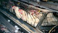 मुर्गियों के अधिकारों को लेकर दिल्ली HC ने जारी किया निर्देश, छोटे पिंजड़े में रखना क्रूरता