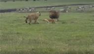 जब शेर से भिड़ गया घायल कुत्ता, ऐसे दी शेर-शेरनी को मात, देखें वीडियो