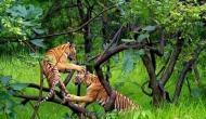 बाघों के लिए साल 2018 बनकर आया काल, टाइगर रिजर्व में भी सुरक्षित नहीं रहे बाघ, इतनों की हुई मौत