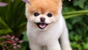 Sad! World's most cutest dog, Boo dies in sleep, owners claims 'broken heart' might be the reason