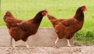 मुर्गी के खिलाफ महिला ने दर्ज कराई शिकायत तो दंग रह गई पुलिस, जानिए क्या है पूरा मामला