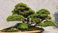 400 साल पुराने पेड़ को चुराकर ले गए चोर, कीमत जानकर उड़ जाएंगे होश