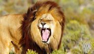 शेरों को पालने का शौक इस शख्स को पड़ गया भारी, जान गंवाकर चुकानी पड़ी कीमत
