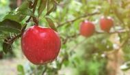 जहरीला होता है सेब का बीज, भूलकर भी खा लिया तो हो सकती है मौत !