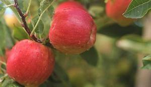 सावधान! सेब के साथ लाखों बैक्टीरिया निगल रहे हैं आप- रिसर्च