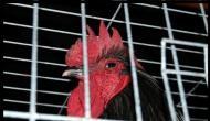 पुलिस ने मुर्गों को किया हवालात में बंद, इस गुनाह की मिली सजा जानकर रह जाएंगे दंग