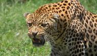 सात साल के छोटे भाई पर किया तेंदुए ने हमला तो बड़े भाई ने ऐसे संभाला मोर्चा और फिर...