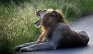 यहां शिकारी खुद बन गया खूंखार जानवर का शिकार, पहले हाथी ने रौंदा फिर शेर ने किया वार