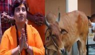 Sadhvi Pragya on health benefits of cow: Consuming cow urine cured my breast cancer