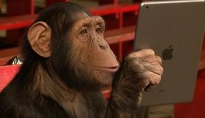Amazing! Watch how chimpanzee scrolling, swiping and browsing Instagram on iPhone; video goes viral