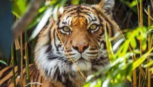 COVID-19 का अनोखा मामला, इंसान से चिड़ियाघर का बाघ हुआ कोरोना पॉजिटिव