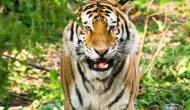 OMG! Watch what happens to a girl when tiger tries to attack her with its huge paws; video goes viral
