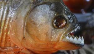 किम जोंग ने अपने जनरल को नरभक्षी मछलियों के टैंक में फेंकवाया, दी रूह कंपाने वाली मौत