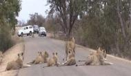 अचानक सड़कों पर लगा दर्जनों बाघों का हुजूम, लगी गाड़ियों की कतार, लेकिन...