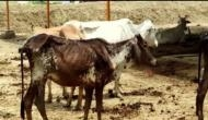 UP: Locals allege cows at Barabanki shelter died due to lack of fodder, water