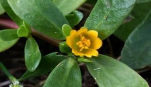 सोने से भी कई गुना बेशकीमती है ये पौधा, इन जानलेवा बीमारियों को देता है मात