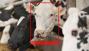 अफ्रीका में लोग ऑनलाइन गाय पालकर मोटी कमाई कर रहे हैं