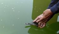 70 turtle hatchlings from 2 Assam temples released in Pobitora Wildlife Sanctuary