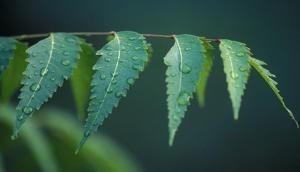 इन बीमारियों के लिए काल है नीम की पत्तियों का सुबह खाली पेट सेवन