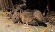 चूहों पर पानी की तरह पैसा बहाती है इंडियन रेलवे, एक चूहा पकड़ने पर खर्च होते हैं 22 हजार रुपये