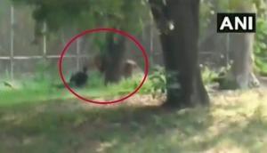 Watch: Bihar man jumps inside lion enclosure in Delhi zoo; escapes unhurt