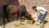 हरियाणा: बैल गोबर में सोना उगलेगा, 10 दिन से आस लगाए बैठा है ये परिवार