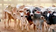 इस देश में AK-47 के बदले मिले रही एक जोड़ी गाय, जानिए क्या है पूरा माजरा