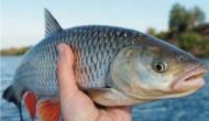 सावधान: गलती से भी मत खाइएगा ये मछली, इसके एक बूंद जहर से जा सकती है पूरे शहर की जान