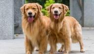 कपल को तलाश है ऐसे व्यक्ति की जो इनके दो कुत्तों की देखभाल कर सके,  लाखों की सैलरी देने को तैयार