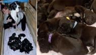 फीमेल डॉग ने दिया  21 पिल्लों को जन्म, बन सकता है नया गिनीज वर्ल्ड रिकॉर्ड