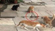 बिल्लियों ने की जहरीले सांप के साथ ऐसी हरकत, वीडियो में देखें फिर हुआ क्या