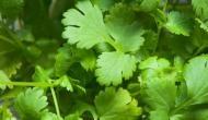 धनिया की पत्तियों से करें इन बीमारियों का उपचार, सब्जी का भी बढ़ाते हैं स्वाद