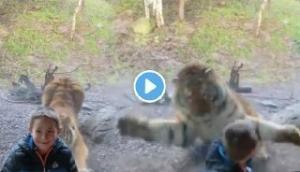 मस्ती में खेल रहे थे बच्चे, तभी आ गया खूंखार बाघ, Video में देखें फिर हुआ क्या
