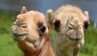 It's viral: Have you ever seen camel hugging human? Endearing video will make your Saturday!
