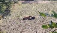 Video: बाघ ने दौड़ाया और दबोच लिया, फिर हुआ ये चमत्कार और काल के मुंह से बच गया युवक