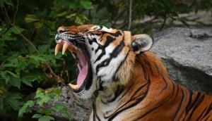 बाघ को देखकर मरने की नौंटकी करने लगा ये शख्स, वीडियो में देखें फिर हुआ क्या ?