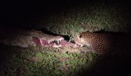 सोते हुए मगरमच्छ के मुंह से तेंदुए ने कैसे निकाले मांस के टुकड़े, देखें रूह कंपा देने वाला वीडियो