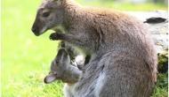 गजब! ऐसा अनोखा जानवर जो पूरी जिंदगी रहता है प्रेग्नेंट, हर 30 दिन में देता है बच्चे