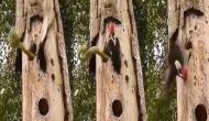 Video: शिकार करने के लिए कठफोड़वा के घोसले में घुसा था सांप, बच्चों को बचाने के लिए भिड़ गई ये चिड़िया