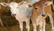 Hyderabad: Shame! Man caught raping 9-month-old calf in cattle shed
