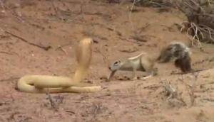 बच्चों को बचाने के लिए कोबरा से भिड़ गई नन्ही गिलरही, वीडियो में देखें किसे मिली मात